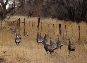 Hunting_Turkey2